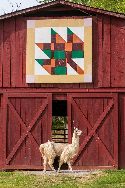 llama_by_quilt_barn_500.jpg