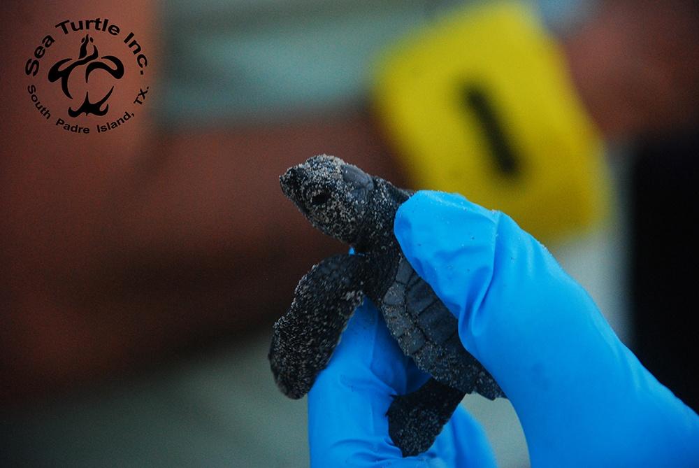 Sea Turtle Inc hatchling.jpg