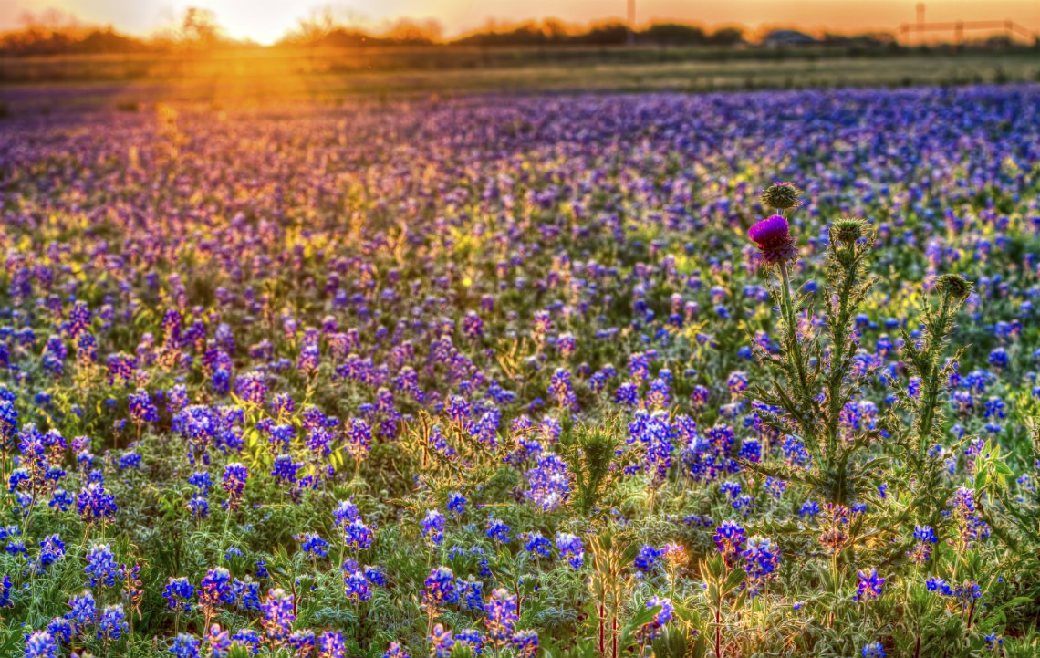 Wildseed_Farms_Blue_Bonnets.jpg
