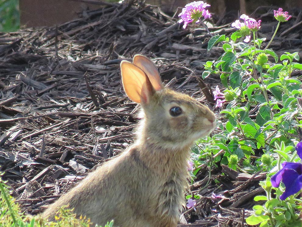 rabbit on trail