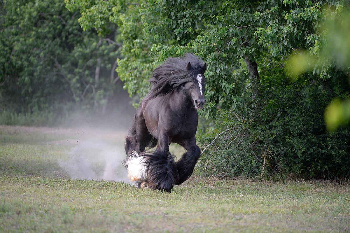 Black and White Cob Gypsy Horse