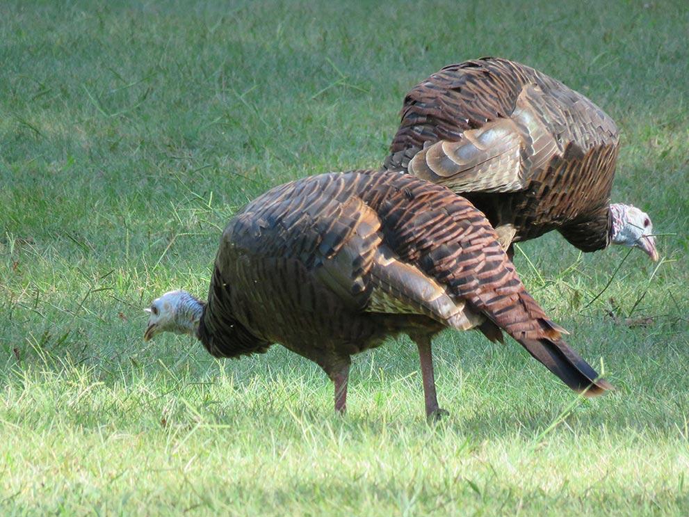wild-turkeys.jpg