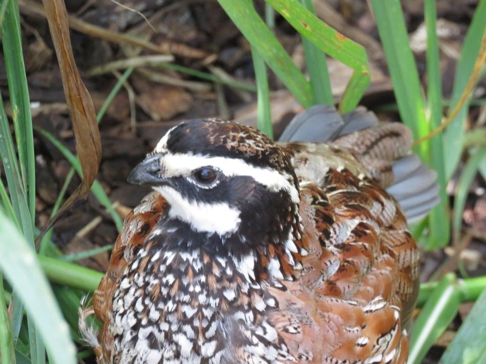 Bob white cock quail