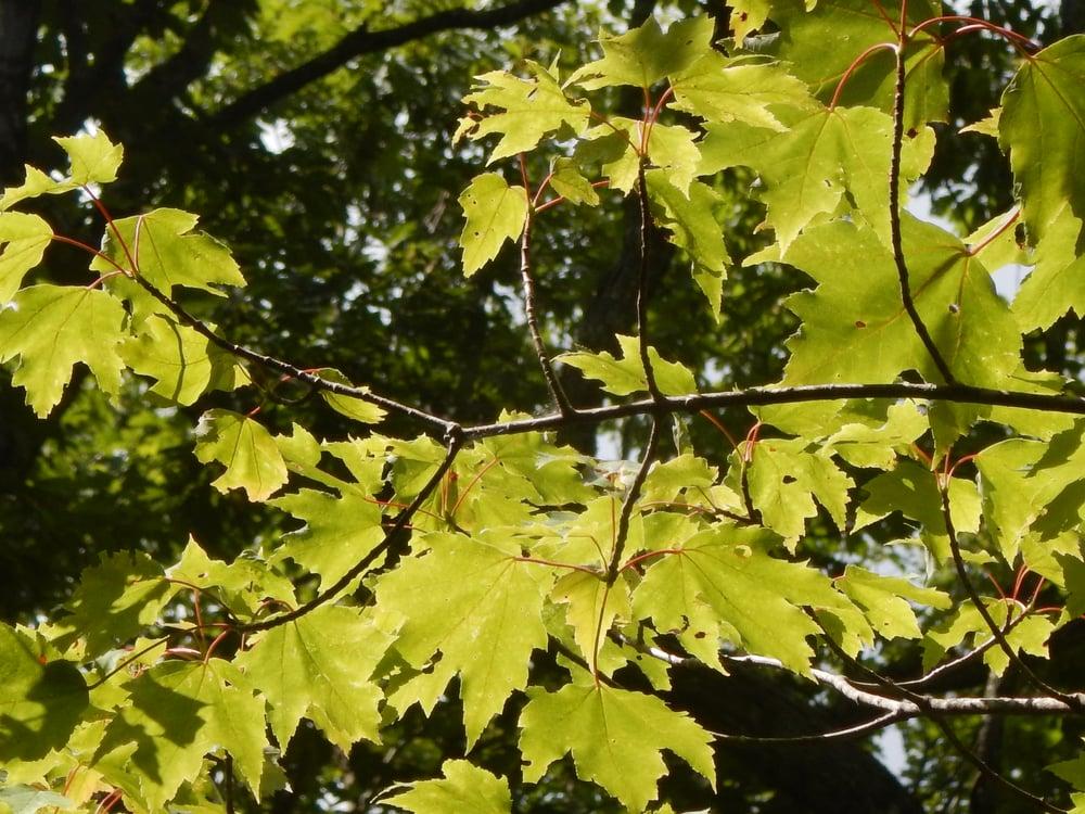 trees capture carbon