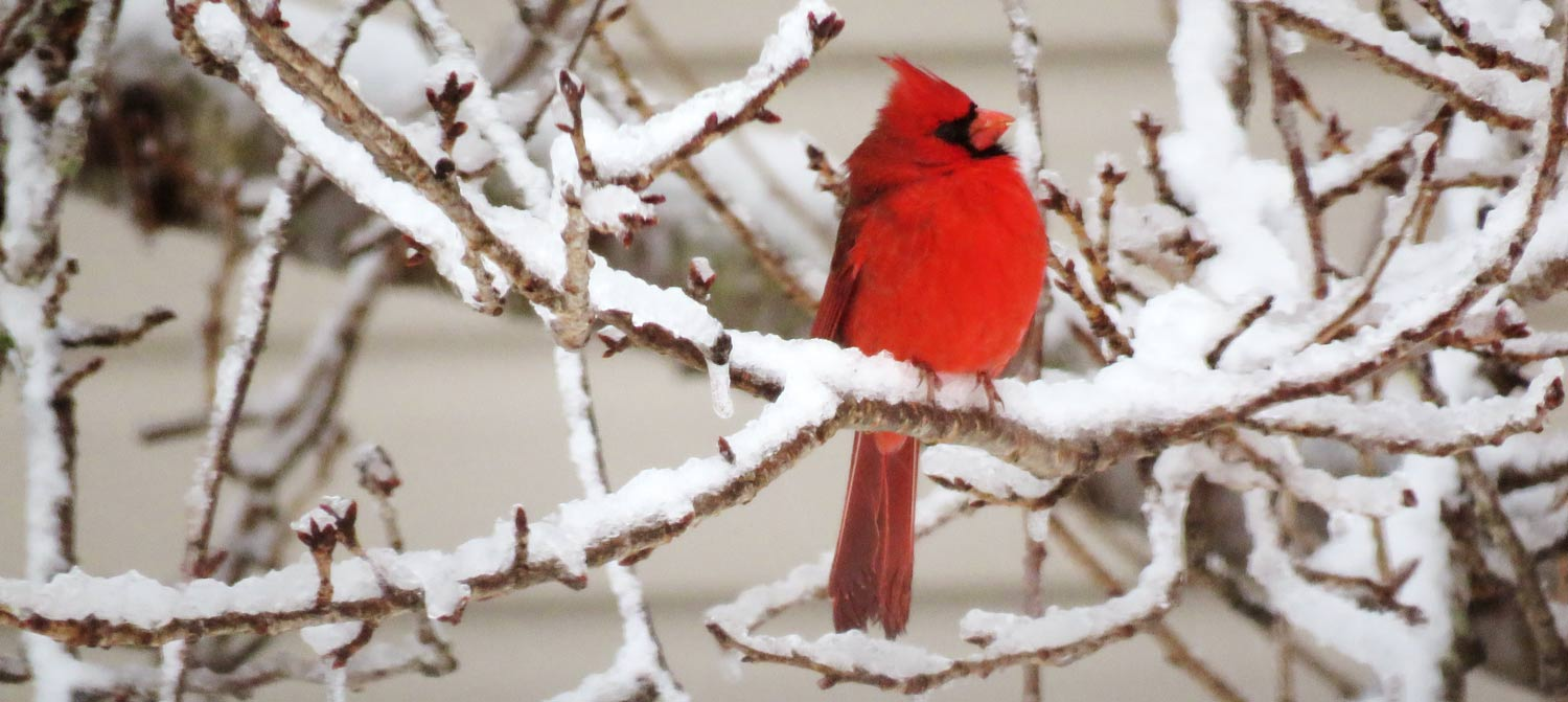 Red Cardinal on snowy branches