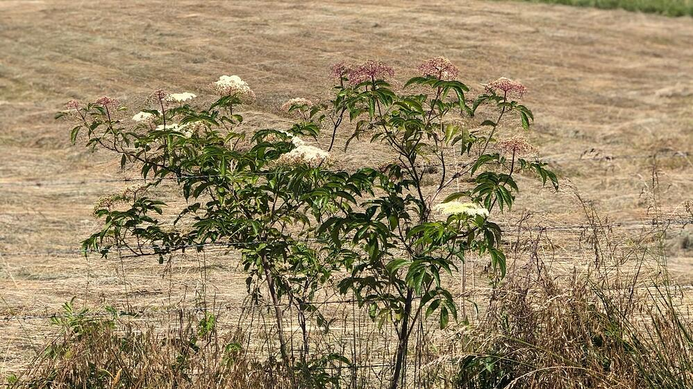 Elderberry bush scenic landscape