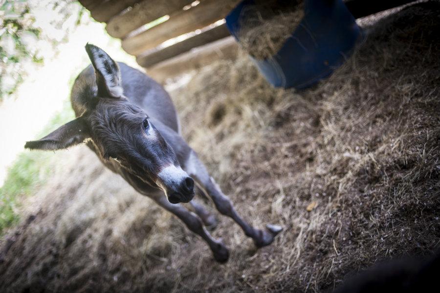 Club footed donkey