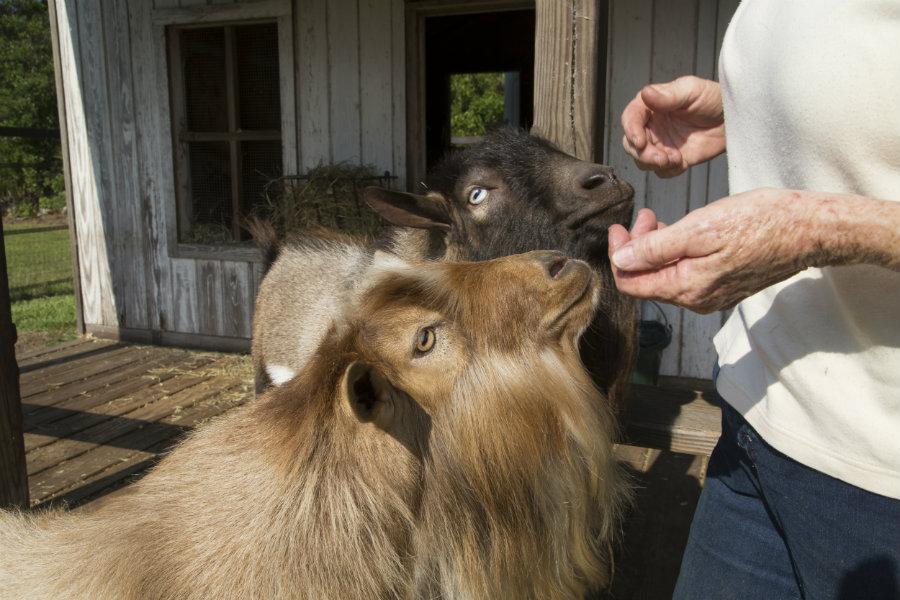 Male Nigerian dwarf goats with beards