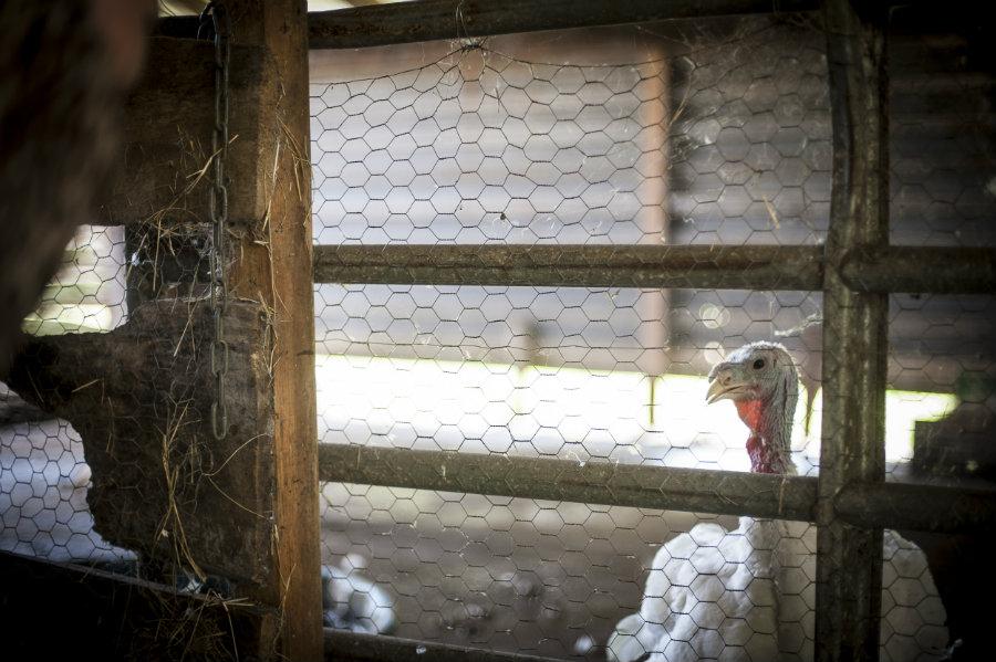 turkey at Celestial Farms