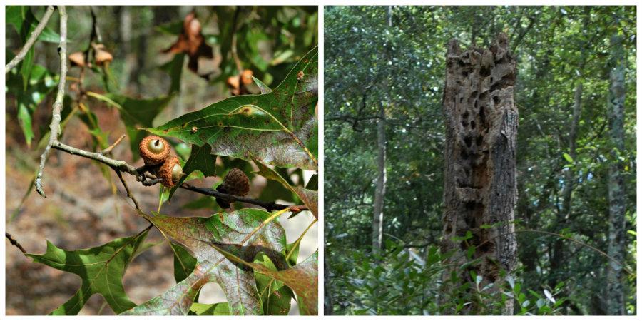 woodpecker hollowed tree full of bugs