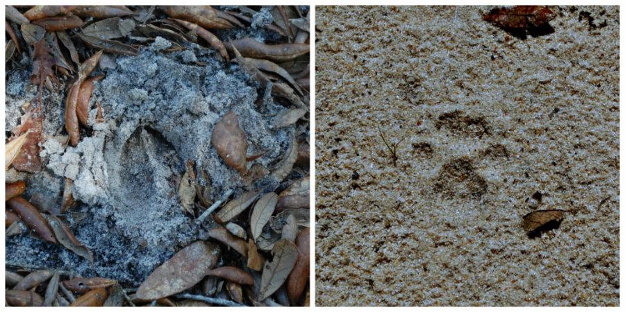 deer and bobcat prints