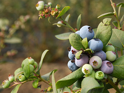 blueberries are a superfood you can grow yourself