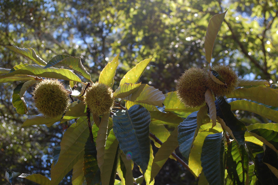 chestnuts growing on a tree
