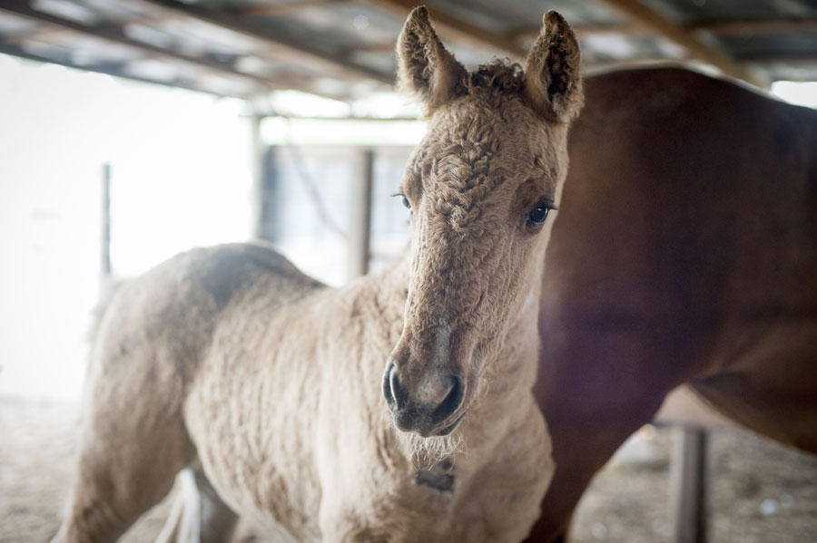 Curly horses are among rare breeds at Conner's A-Maize-Ing Acres