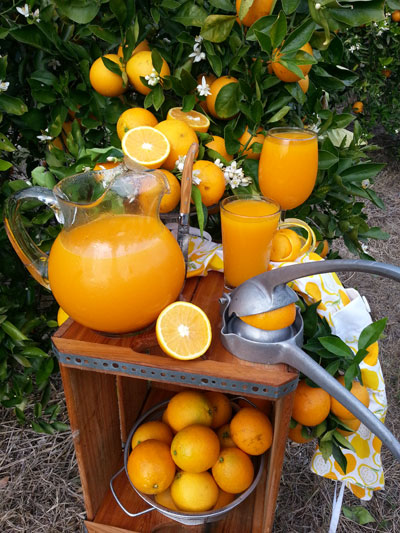 showcase of citrus is a you-pick orange farm in florida