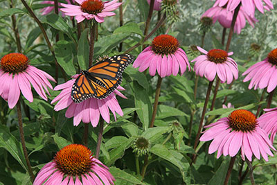 Purple cone flowers or echinacea