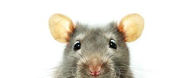 Rat Small