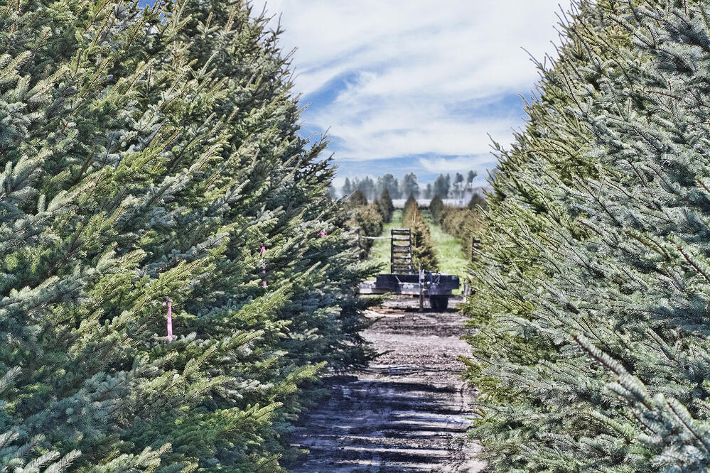 christmas tree farms virginia