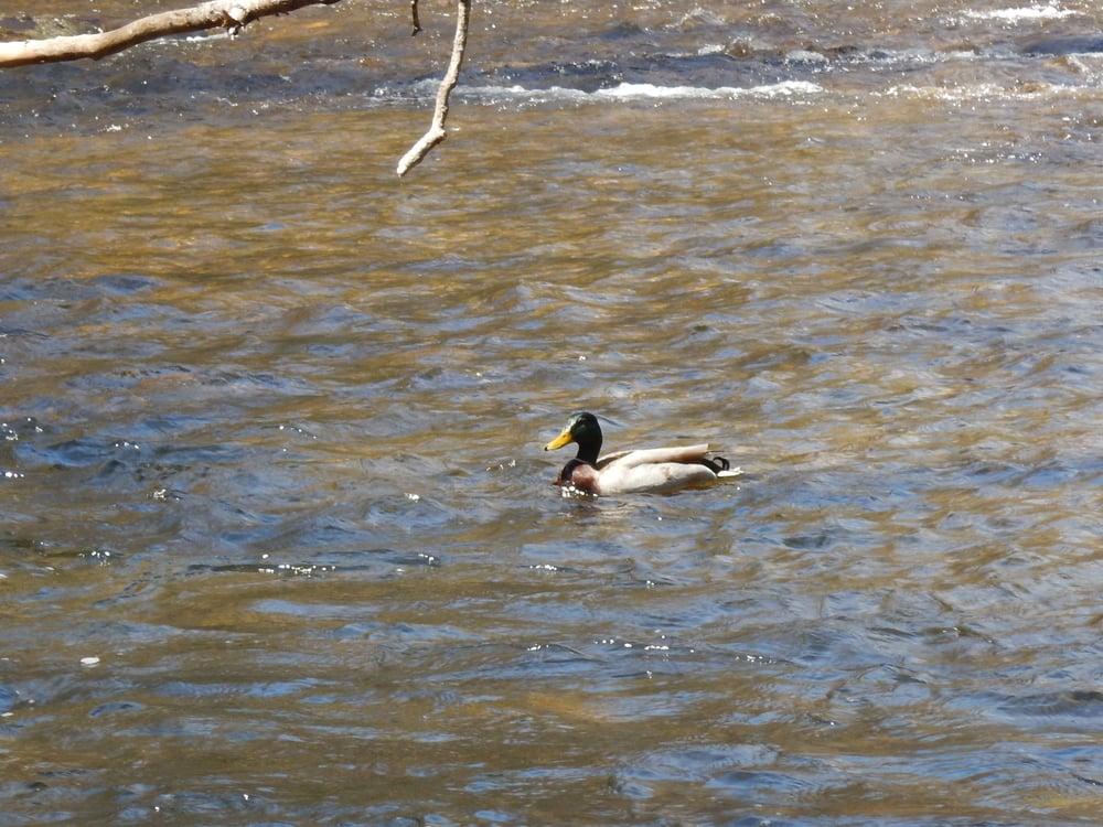 Mallards on the creek
