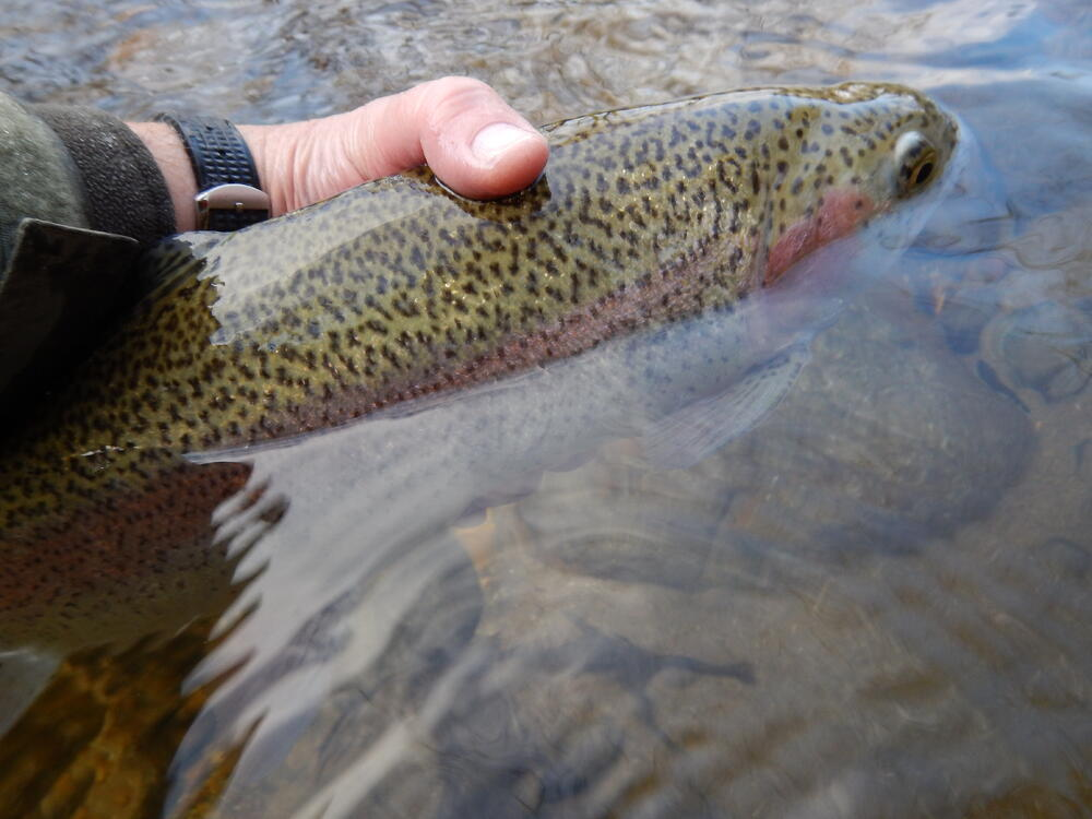 rainbow trout is low in mercury