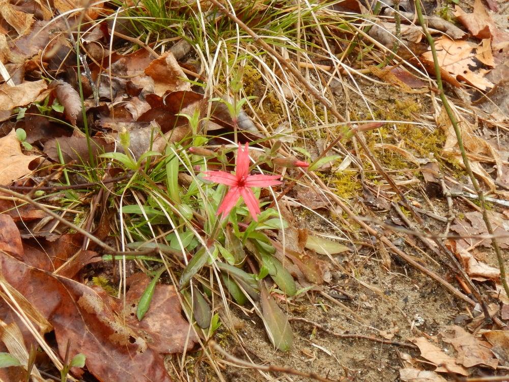 Wildflowers pushing through leaf litter