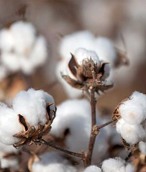 Growing Cotton Plants