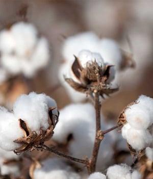 Growing Cotton Plants