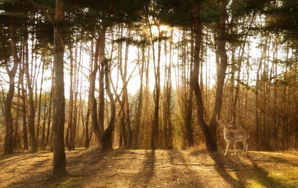 Deer.in.pines-1.jpg