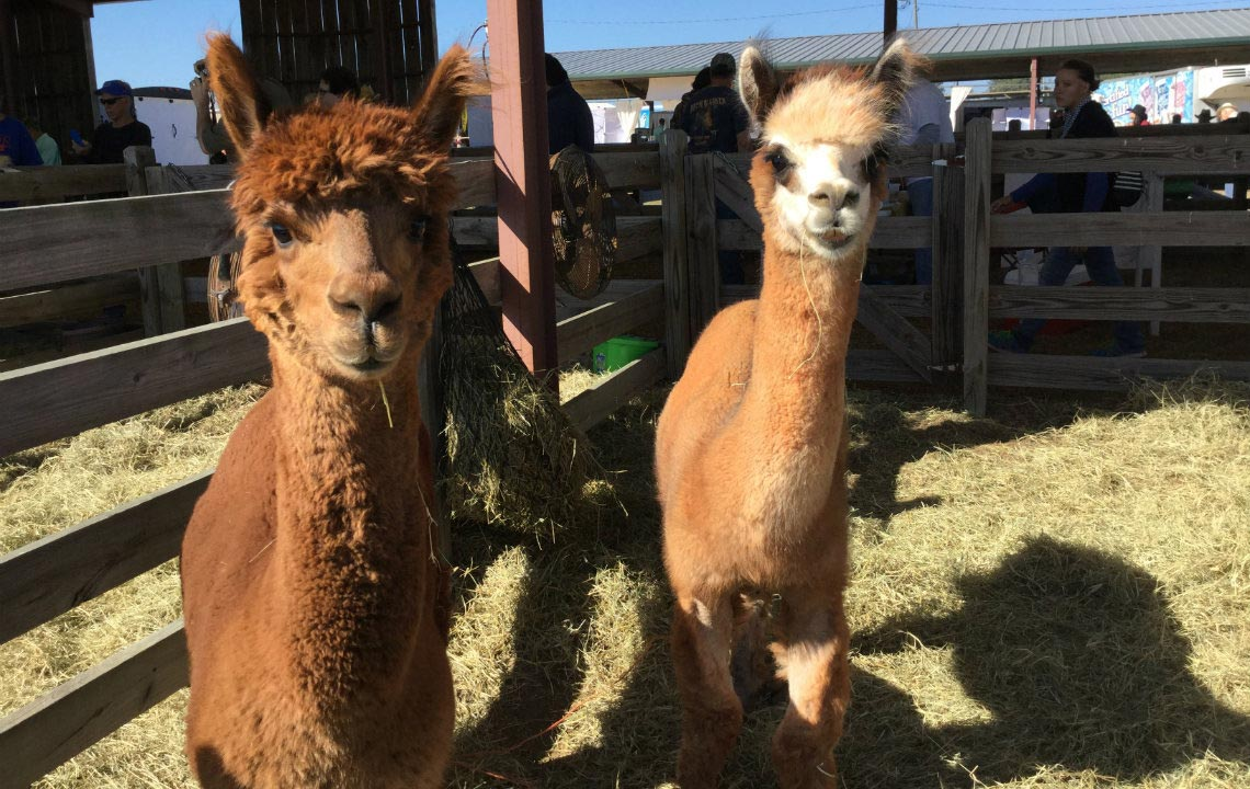 Alpacas: Loveable, easy to raise and gentle