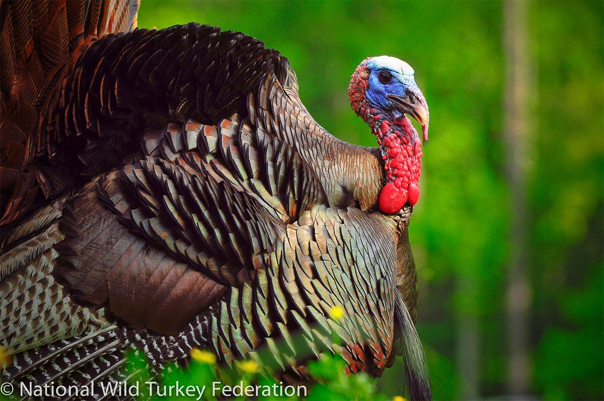 The Story Behind American Turkey Hunting