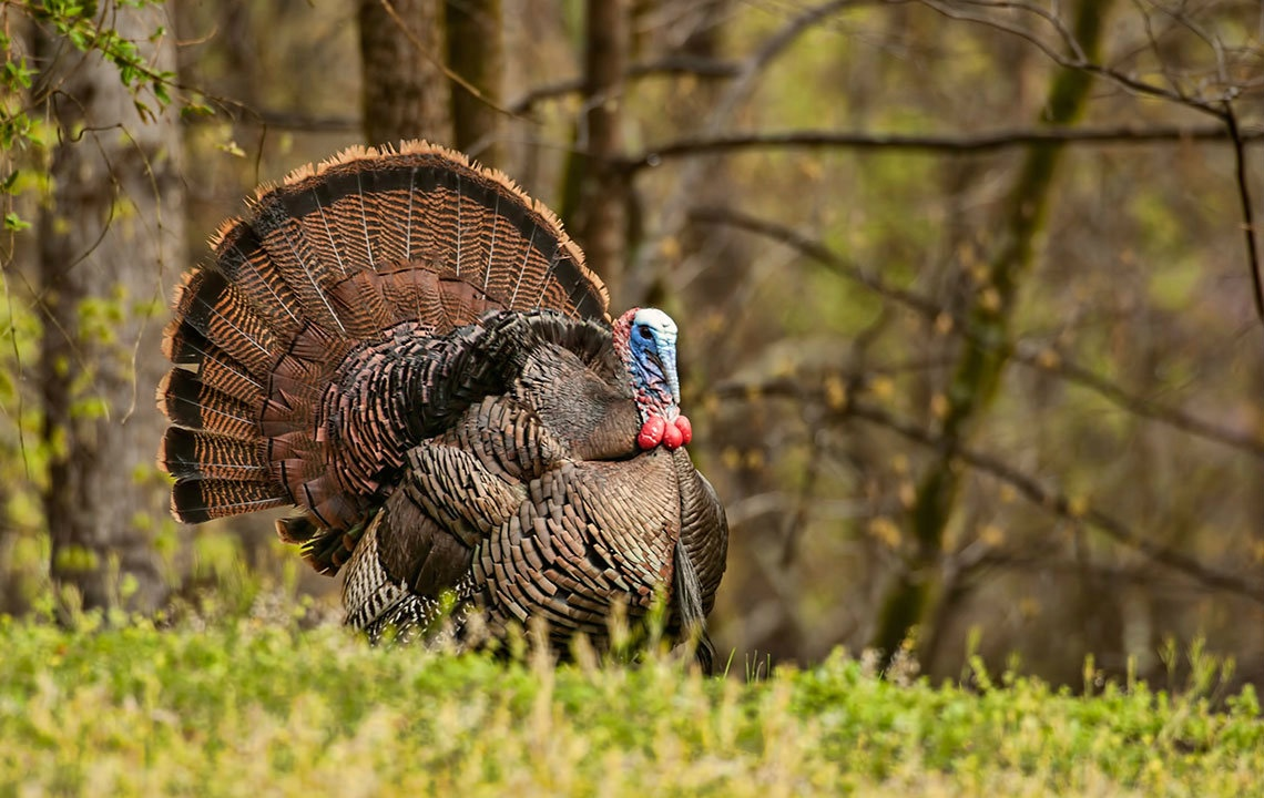 Infographic: The Health Benefits of Eating Wild Turkey