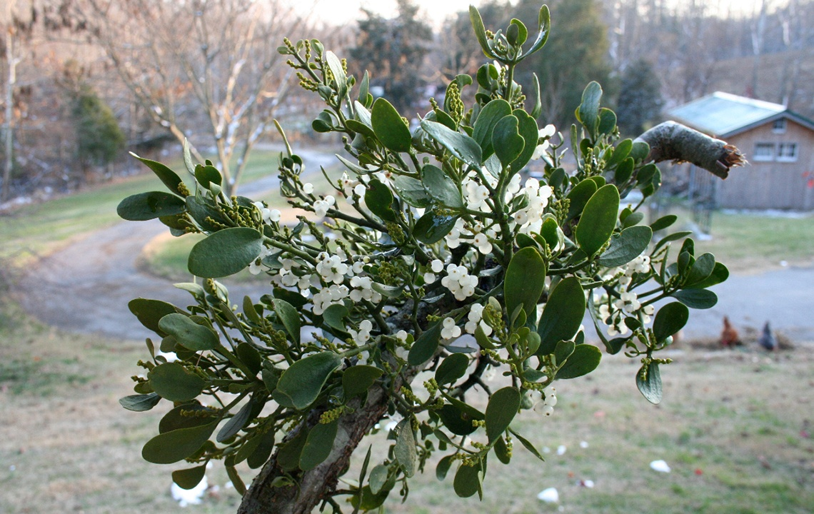 Mistletoe—A Most Marvelous and Mysterious Holiday Plant