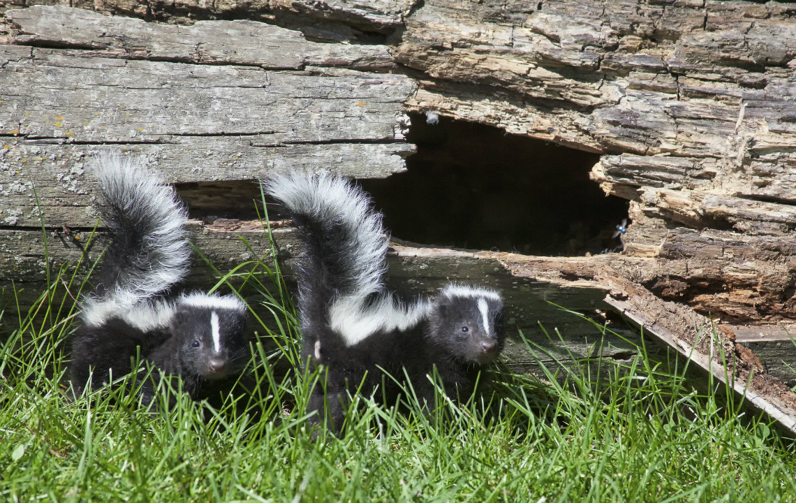 The facts about skunks: they're more interesting than you think