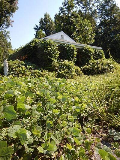 Kudzundheit! A humorous look at the facts behind the prolific vine