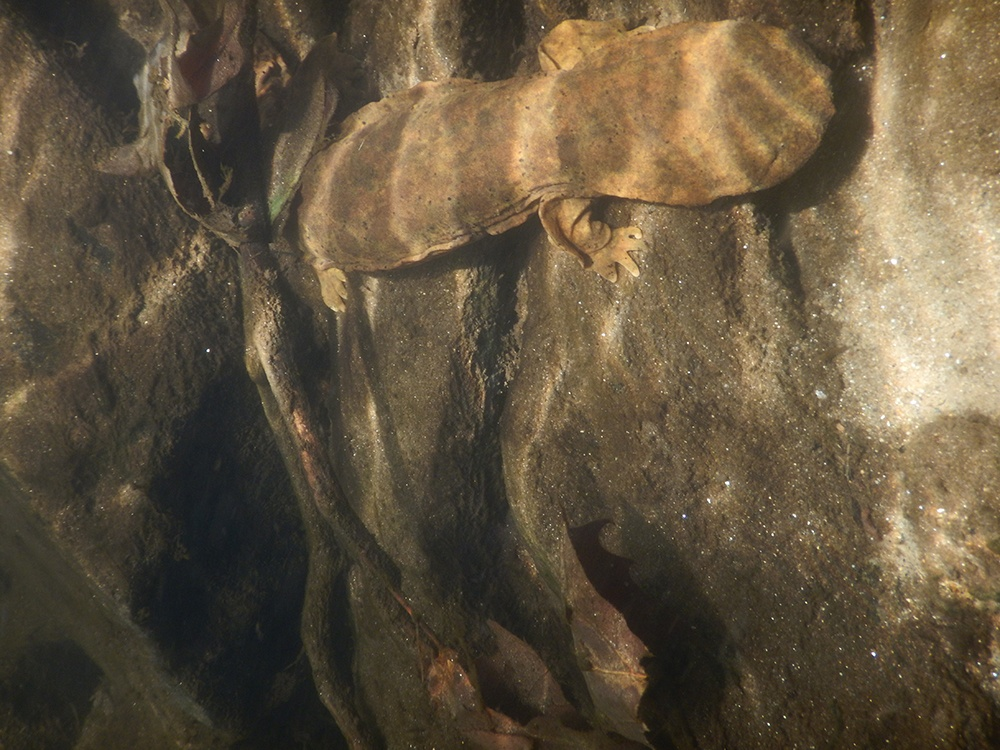 Hellbender Salamander.jpg
