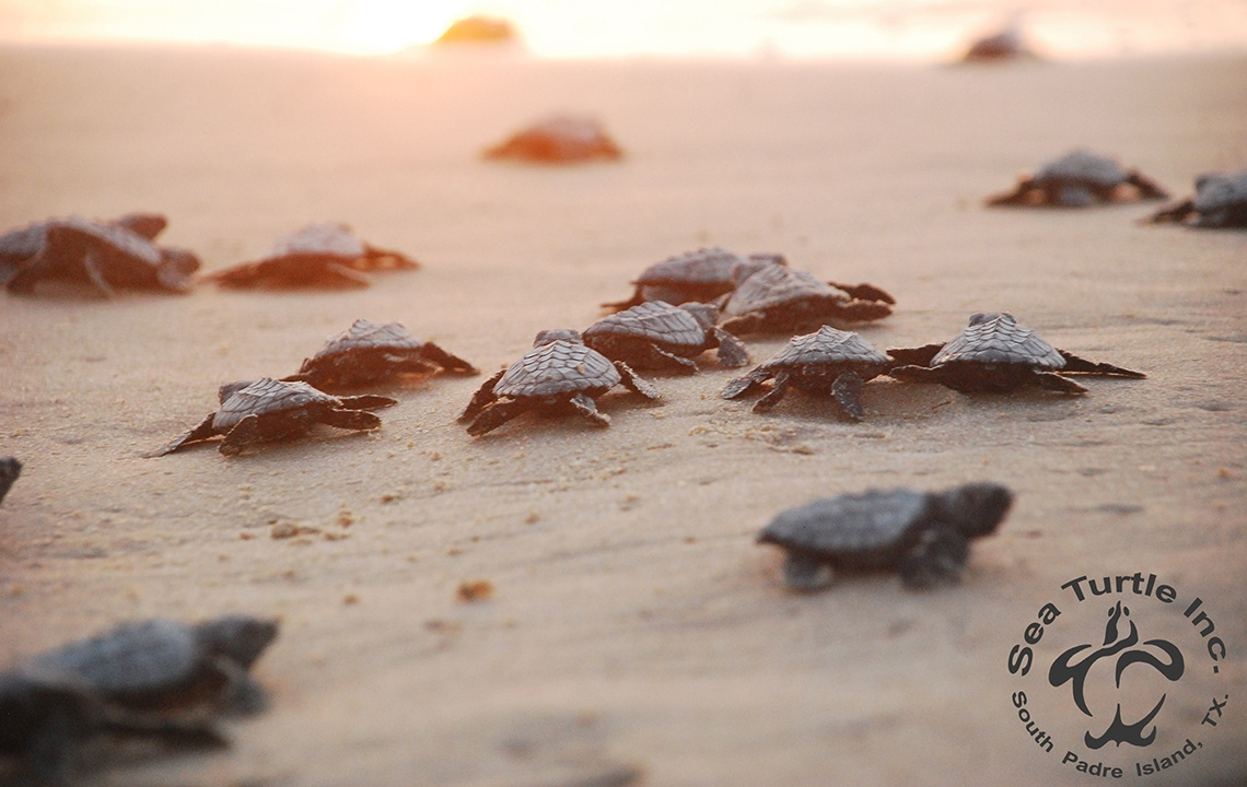 Saving the Sea Turtles of South Padre Island, Texas