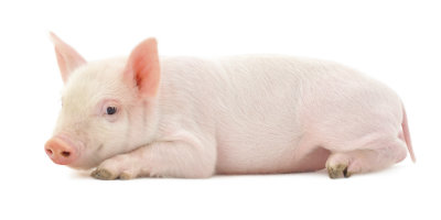 sustainable farming piglet