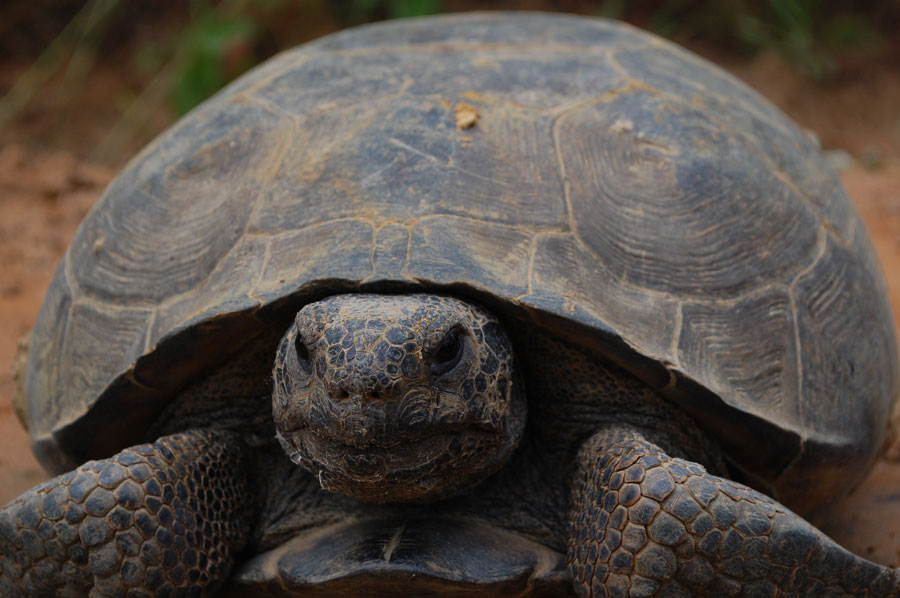 old turtle on country road