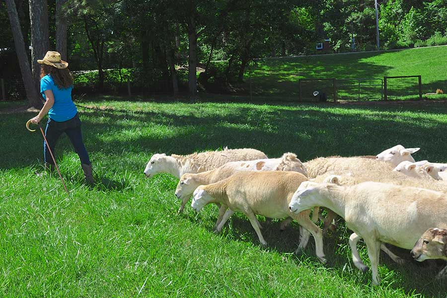 Woman shepherds hair sheep on sustainable North Georgia Farm