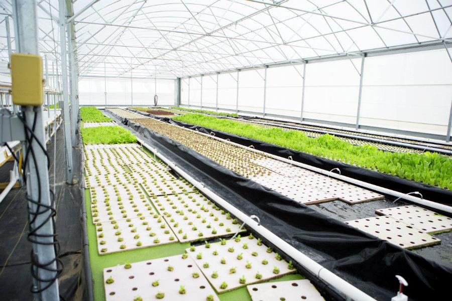 aquaponic greenhouse lettuce plants