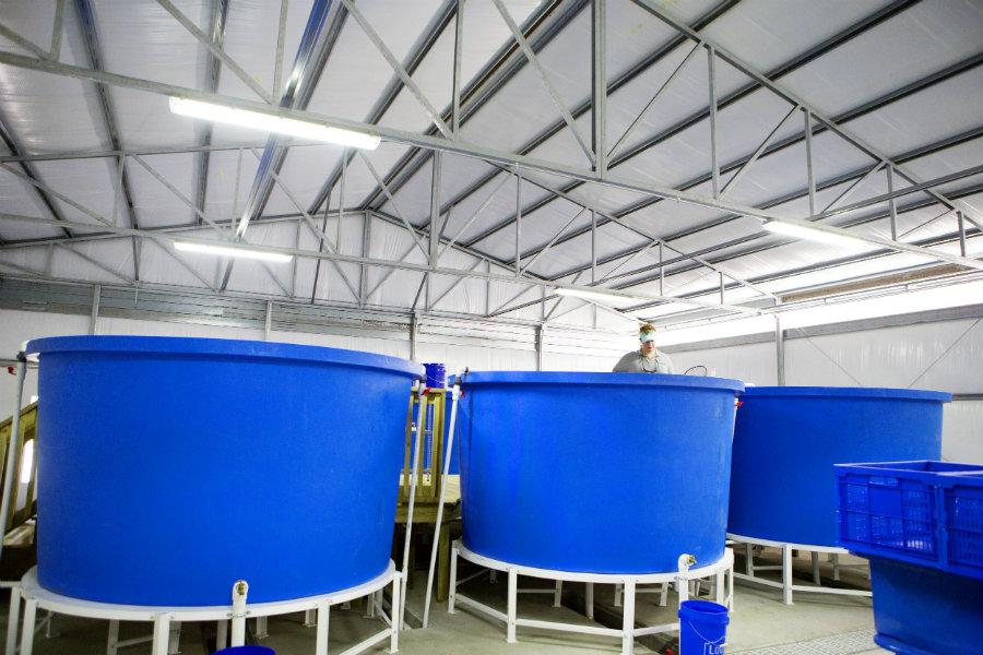 40,000 gallon fish tanks at aquaponics farm
