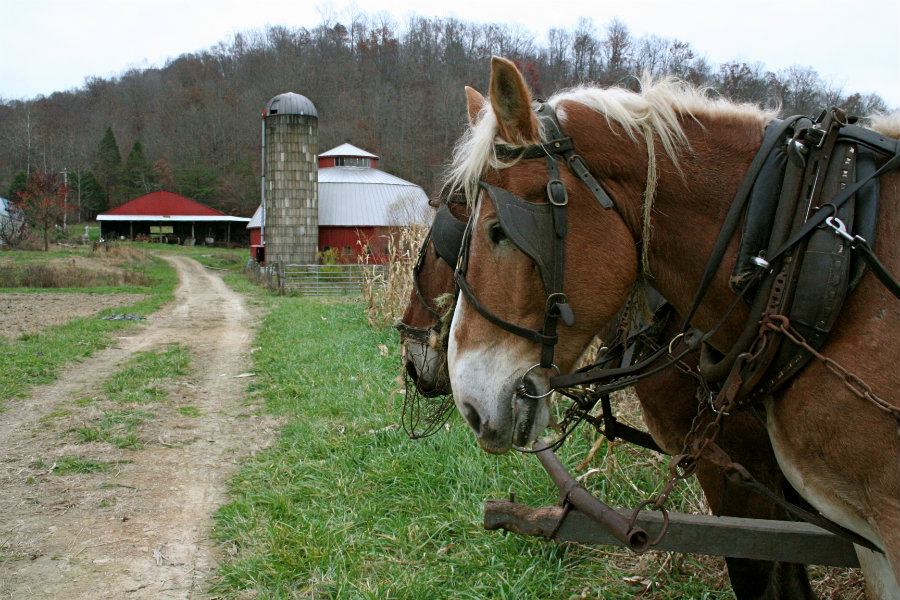 mennonite horses on farm