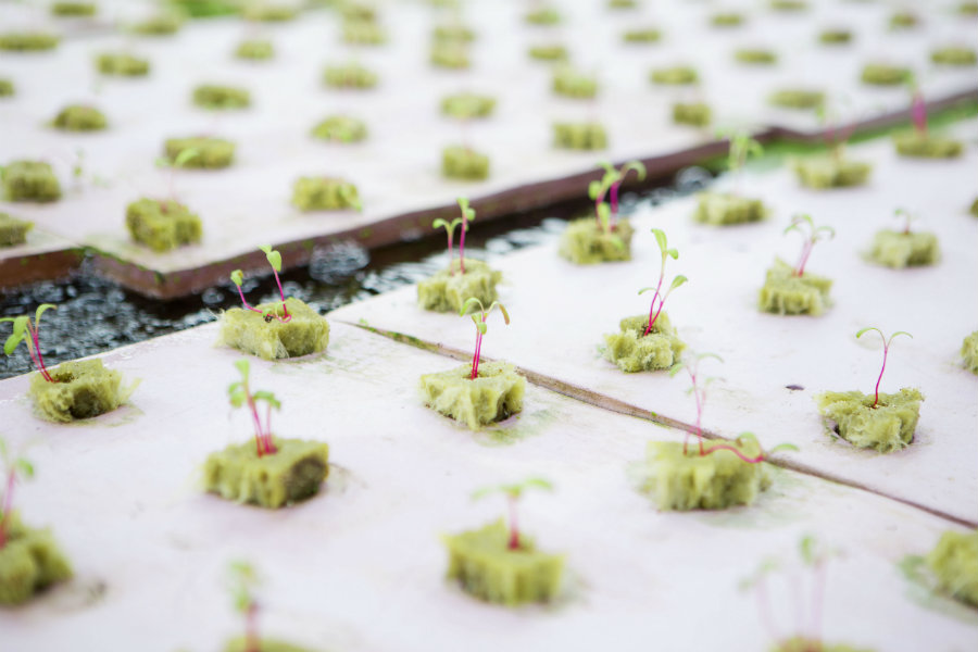 Seedlings on an aquaponics farm