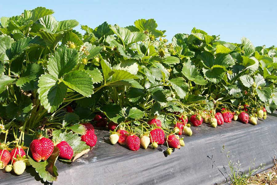 Washington Farms offers a strawberry patch in Georgia