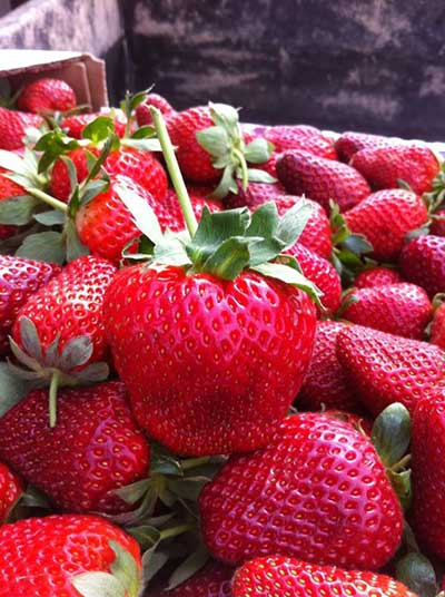 u-pick strawberries at Mrs Heathers Louisiana
