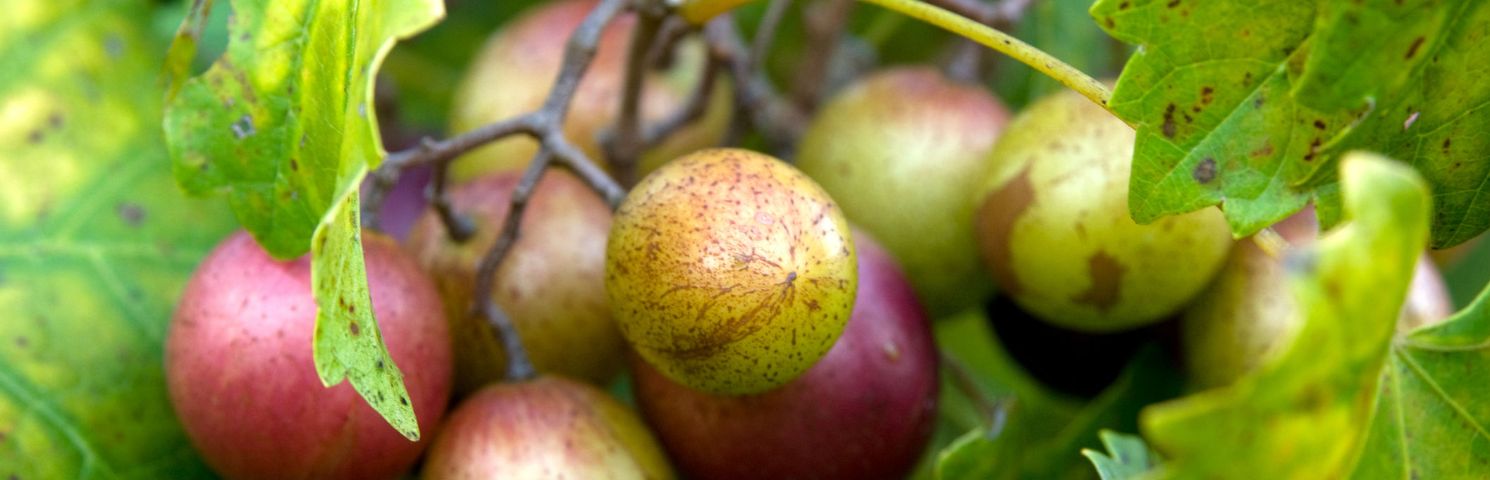 Incorporating fruits tress into rural landscapes