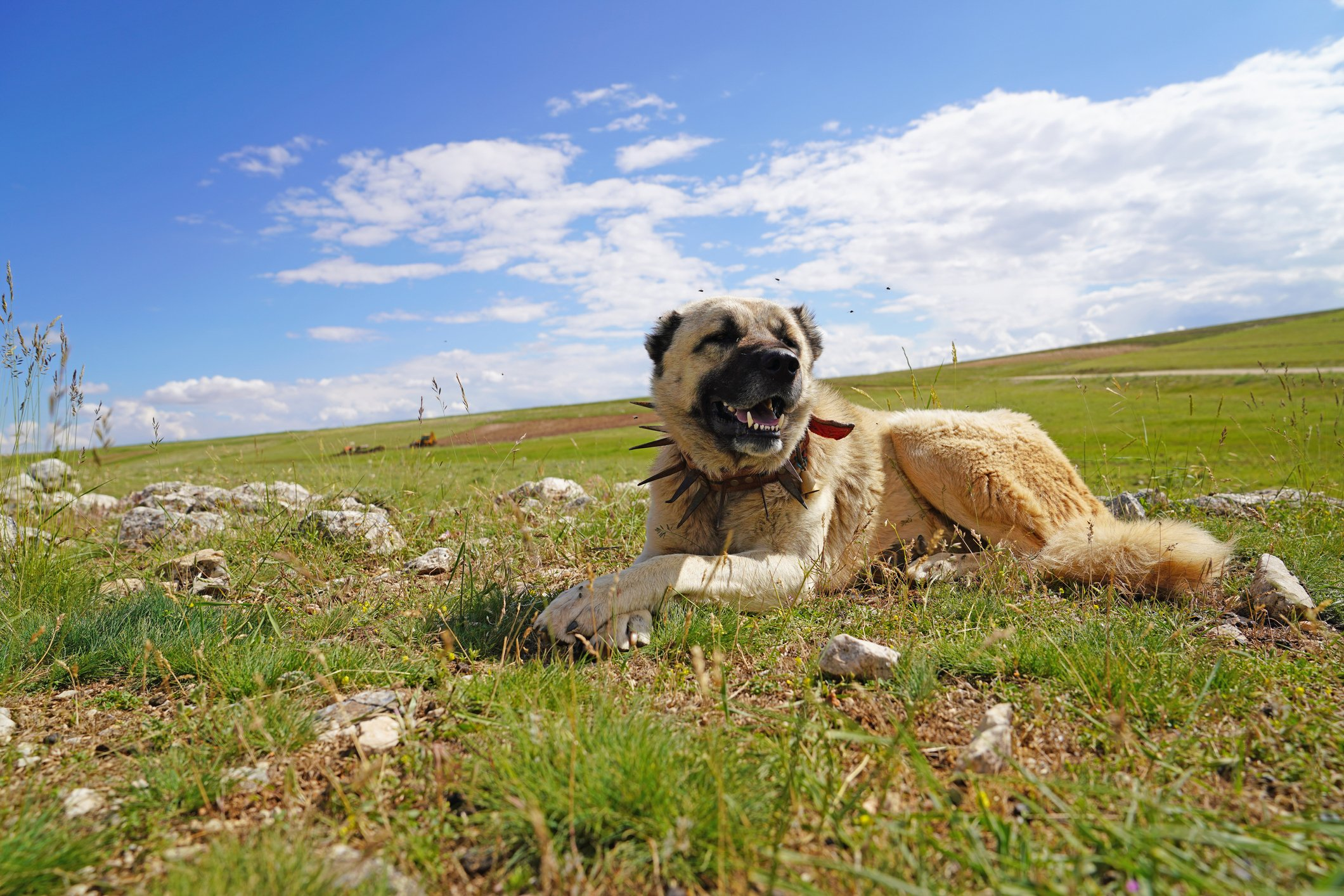 How to Choose the best Livestock Guard Dog Breed for your Farm