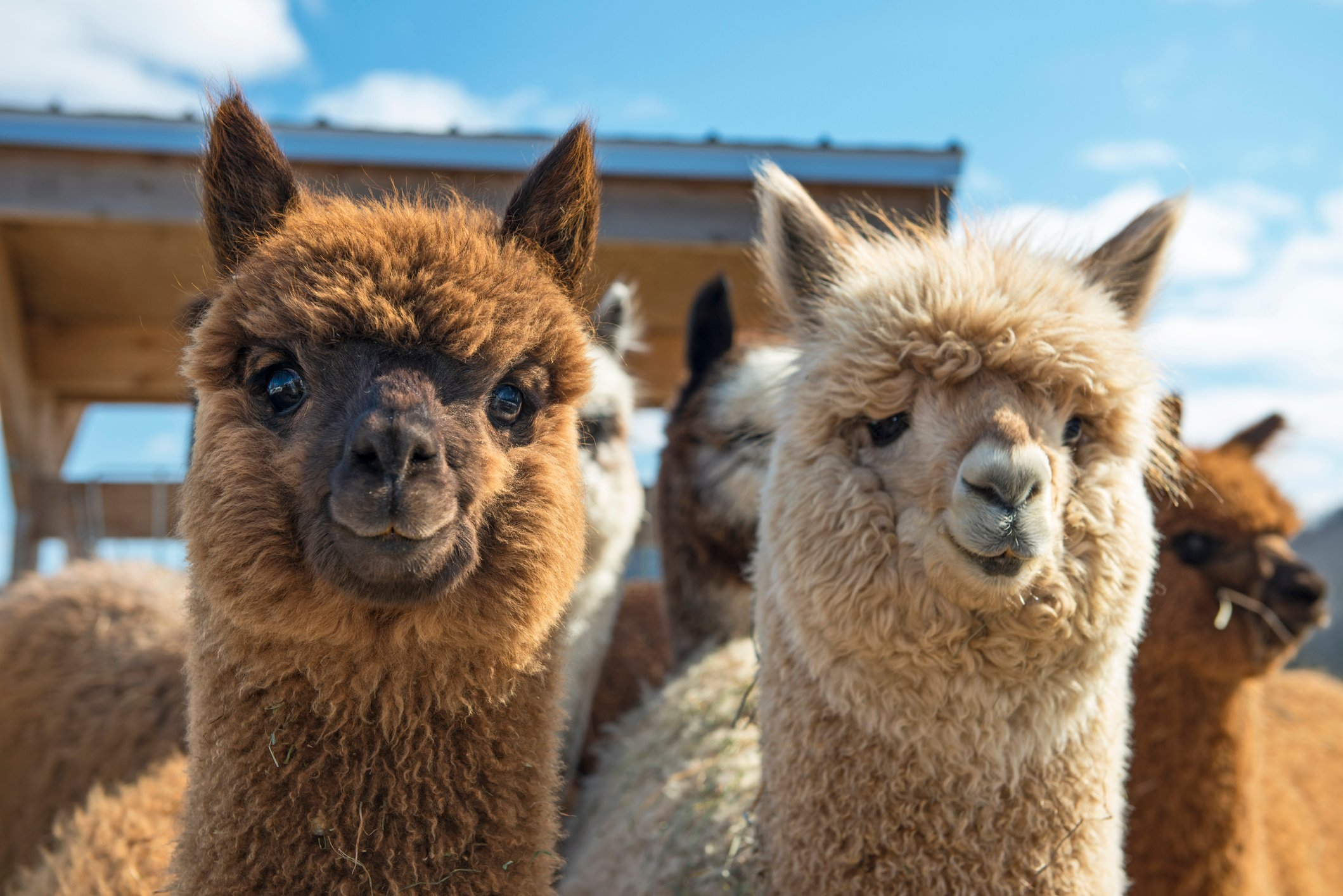All About Raising Alpacas: An Interview With Pat Waters