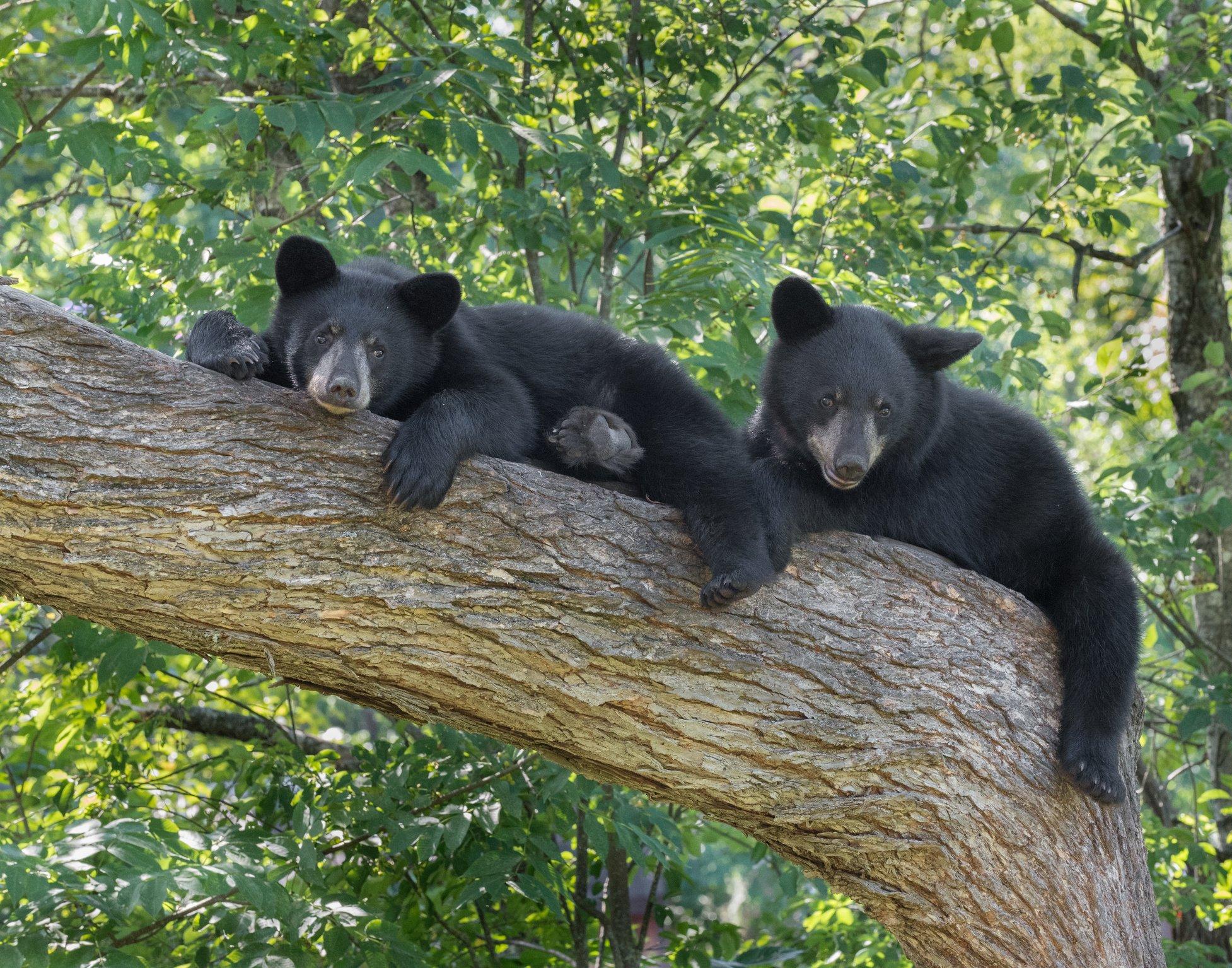 Keeping Bears Wild