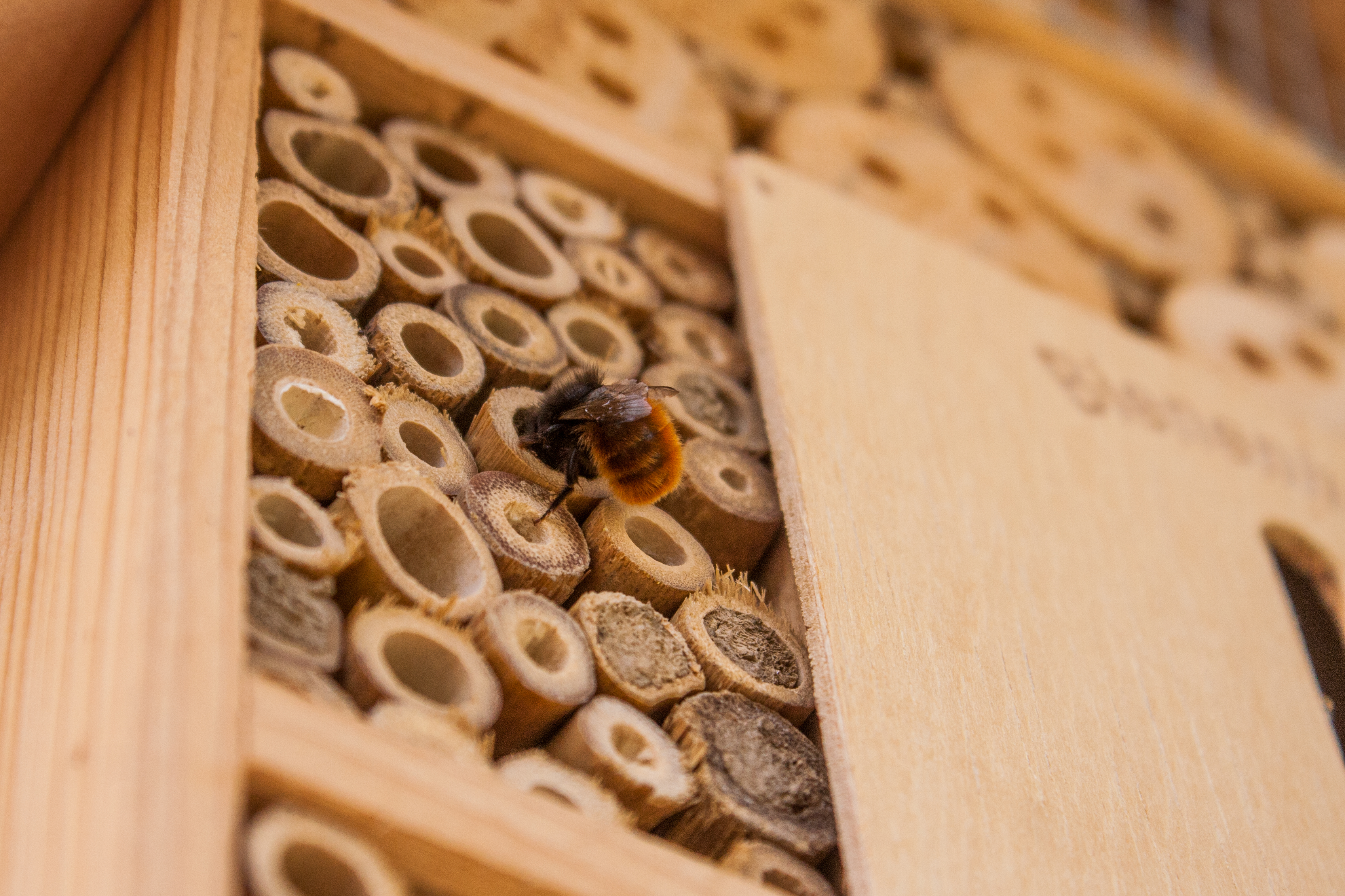 Meet the Mason Bee: A Solution to Declining Honeybee Populations